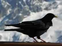 alpine Krähe der Alpendohle lizenzfreie stockfotografie