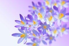 Alpine Krokusfrühlingsblume auf unscharfem Hintergrund Stockfotografie
