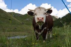Alpine Kuh Lizenzfreies Stockfoto