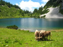 Alpine lake and cattle Stock Photography