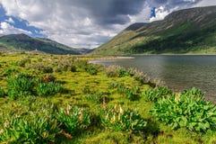 Alpine lakeshore with rheum nobile.  Royalty Free Stock Photos