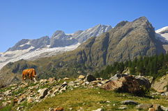 Alpine landscape with cow Stock Image