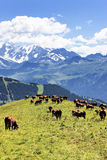 Alpine landscape and cows Royalty Free Stock Photo