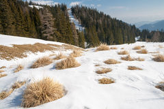 Alpine landscape with dried grass. Covered by snow with pine trees in the background Stock Photos