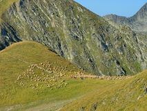 Alpine Landscape with Flock of Sheep Stock Images