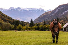 Alpine landscape with galloping horse. Beautiful alpine landscape with peaks covered by snow, forest, green grass with galloping horse in the foreground, cows Stock Photos