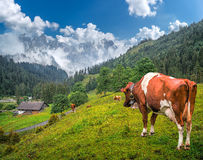 Alpine landscape with grazing cows and impressive mountain tops, Switzerland Stock Photo