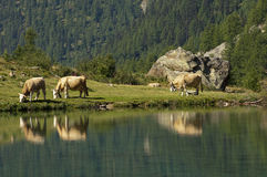 Alpine landscape with lake and cows,. Loetschental valley, Valais, Switzerland stock photography