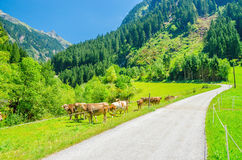 Alpine landscape road, green pastures and cows Royalty Free Stock Images