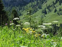 Alpine landscape with wildflowers and firs on background . Sesto Dolomites, Alto Adige - Italy.  stock photo