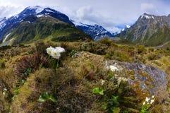 Alpine Lilien Lizenzfreies Stockbild