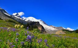 Alpine lupine in front of Mount Rainier Stock Photo