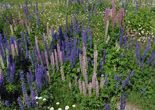 Alpine Lupines flowering Royalty Free Stock Photography