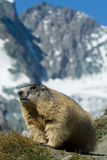 Alpine marmot. In front of a mountain range Stock Image