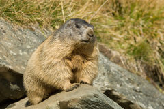 Alpine marmot. Sitting on a rock Royalty Free Stock Photo