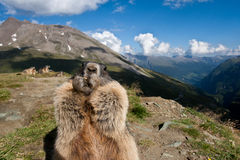 Alpine Marmot. Eats. High Alps Stock Image