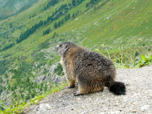 Alpine Marmot. Close shot of an alpine marmot (Marmota marmota) looking away from the camera Stock Images
