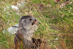 Alpine marmot. The detail of alpine marmot in the grass Stock Photography