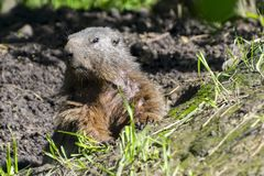 Alpine marmot. Marmota marmota on the ground Stock Photos