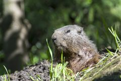 Alpine marmot. Marmota marmota on the ground Stock Photography