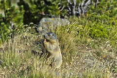 Alpine marmot. Marmota marmota, Valais, Switzerland Royalty Free Stock Photos