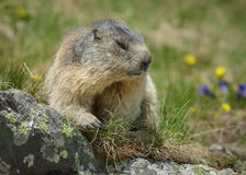 Alpine marmot Royalty Free Stock Photo