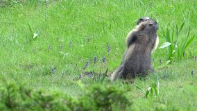 Alpine marmot stock footage