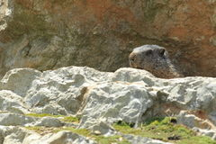 Alpine marmot. Behind the rock Royalty Free Stock Image