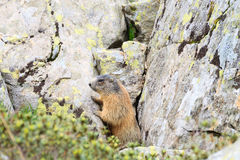Alpine marmot Stock Photography