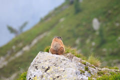Alpine marmot Royalty Free Stock Photography