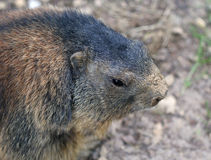 Alpine marmot close up portrair Stock Images
