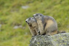 Alpine marmot couple. Alpine marmots, Marmota marmota, couple, Hohe Tauern National Park, Austria, Europe royalty free stock images