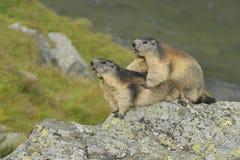 Alpine marmot couple. Alpine marmots, Marmota marmota, couple, Hohe Tauern National Park, Austria, Europe stock image
