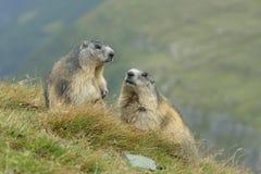 Alpine marmot couple. Alpine marmots, Marmota marmota, couple, Hohe Tauern National Park, Austria, Europe stock photo