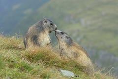 Alpine marmot couple. Alpine marmots, Marmota marmota, couple, Hohe Tauern National Park, Austria, Europe royalty free stock photos