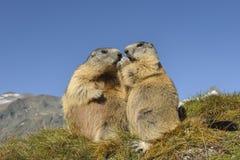 Alpine marmot couple. Alpine marmots, Marmota marmota, couple, Hohe Tauern National Park, Austria, Europe royalty free stock photography