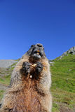 Alpine marmot and eats a nut Stock Image