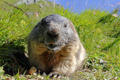 Alpine marmot and eats a nut Royalty Free Stock Photo
