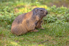 Alpine marmot in field Royalty Free Stock Photography