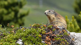 Alpine marmot in the French Alps Stock Images