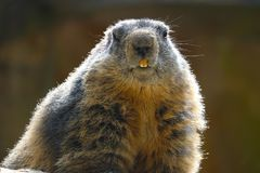Alpine marmot in frontal view showing teeth in the bright sun. Alpine marmot marmota in frontal view showing teeth in the bright sun royalty free stock image