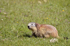 Alpine marmot in grass Royalty Free Stock Photography