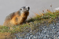 Alpine Marmot on green meadow at Grossglockner Royalty Free Stock Photos