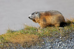 Alpine Marmot on green meadow at Grossglockner Stock Images