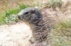 Alpine marmot Royalty Free Stock Image