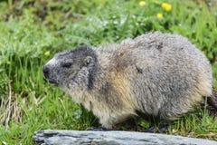 Alpine marmot Stock Photo