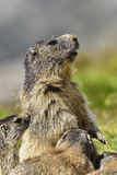 Alpine marmot Stock Images