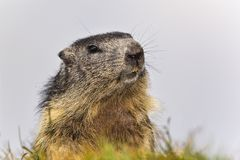Alpine marmot Royalty Free Stock Photos