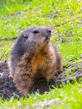 Alpine Marmot Guarding royalty free stock photos