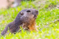 Alpine Marmot Guarding royalty free stock photo
